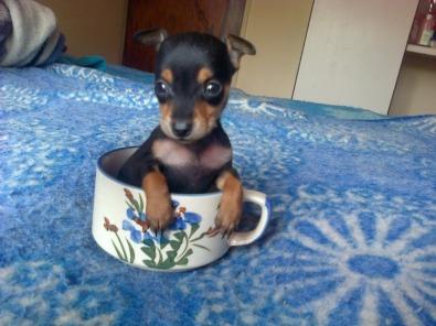 Miniature doberman pinscher puppies for sale cape town