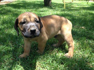 Puppies For Sale | Pretoria North | Dogs and Puppies | Junk Mail ...