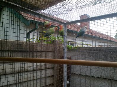 4lovebirds and 3 breeding boxes for sale