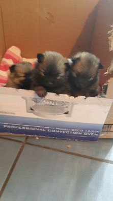 Toy Poms for sale