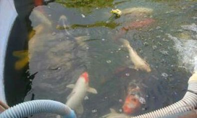 Big koi fish for sale other gauteng fish and aquariums for Big koi fish for sale