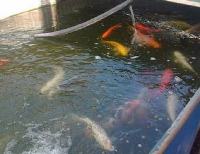Big koi fish for sale other gauteng fish and aquariums for Biggest koi fish