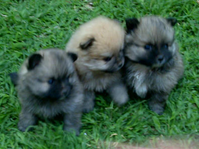 Beautiful Toy Pom Puppies for sale