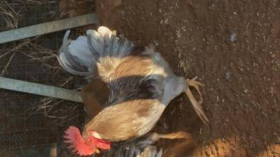 Fertilized eggs and Free Range Chickens