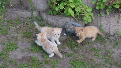 Cute Ginger kittens looking for ....