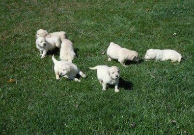 KUSA OFA Champion Line Beautiful Golden Puppies