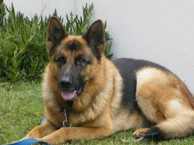 German shepherd puppie...