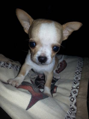 Chihuahua Pup One Male Left