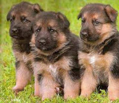 Stunning German shepherd pups