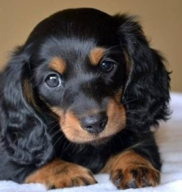 Sausage Dog Puppies For Sale Cape Town