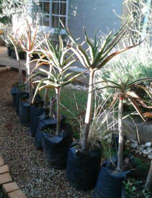 aloe trees for sale pretoria east plants trees and flowers junk mail classifieds 37183291. Black Bedroom Furniture Sets. Home Design Ideas