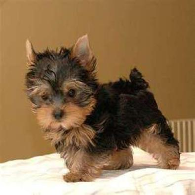 tiny pocket size teacup size yorkies for sale boksburg dogs and