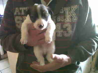 Border Collie cross breed