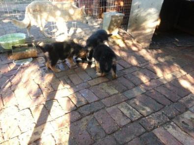 Germen Sheppard Puppies