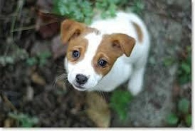 Jack Russel For Sale Pretoria Dogs And Puppies Junk Mail | Dog Breeds ...