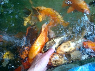 Koi for sale boksburg fish and aquariums junk mail for Koi fish tank for sale