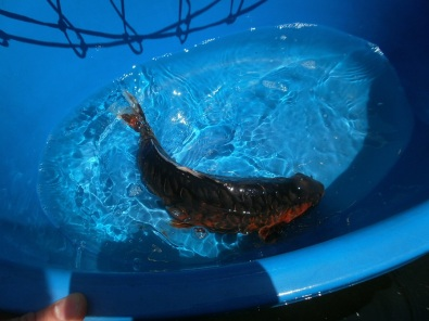 7x koi for sale fish and aquariums 43271621 junk for Koi fish tank for sale