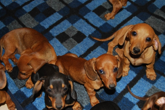 Puppies For Sale | Midrand | Dogs and Puppies | 60682224 | Junk Mail ...