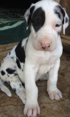 Great Dane German puppies, registed