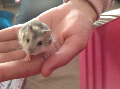 Baby Russian Campbell dwarf hamsters for sale