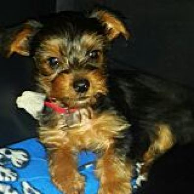 Dachshund Puppy For Sale Johannesburg Dogs And Puppies Junk Mail | Dog ...