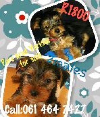 Yorkie Puppies For Sale Johannesburg Dogs And Puppies Junk Mail Photo ...