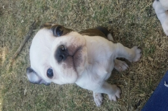 English Bulldog Puppies For Adoption | Pretoria North ...