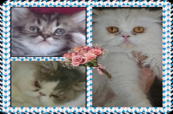Purebred Persian Female Kitten   Roodepoort   Cats and Kittens ...