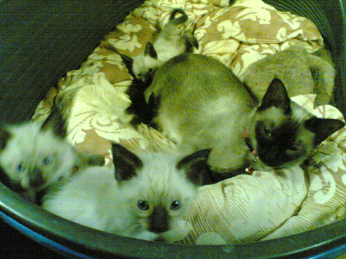 Siamese cats for sale pretoria