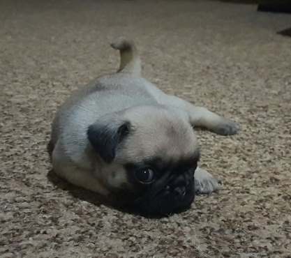 Pug Puppies For Sale | | Dogs and Puppies | 64995826 ...