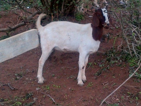 Boer Goats For Sale | | Livestock | 61402654 | Junk Mail ... - photo#14