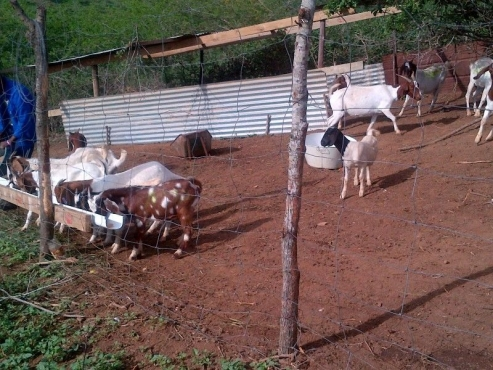 Boer Goats For Sale | | Livestock | 61402654 | Junk Mail ... - photo#37