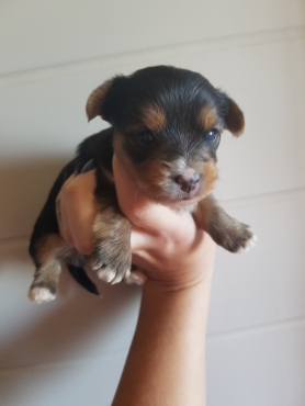 Registered Yorkie Pups For Sale. | Pretoria North | Dogs ...