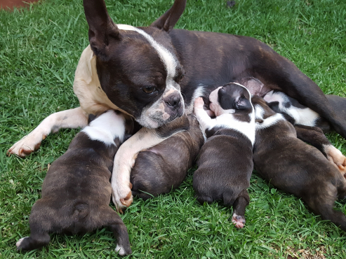 ... Pretoria North | Dogs and Puppies | 64064676 | Junk Mail Classifieds