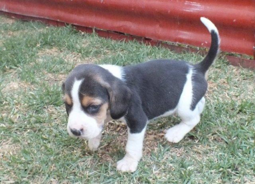 Beagle Pups For Sale Pretoria Dogs And Puppies Junk Mail | Dog Breeds ...