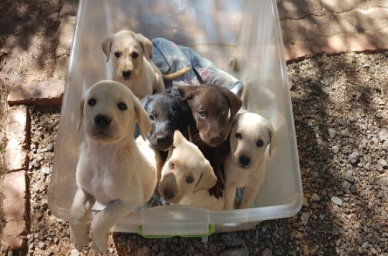 4 Awesome Labrador Puppies 4 Sale | Melkbos | Dogs and ...