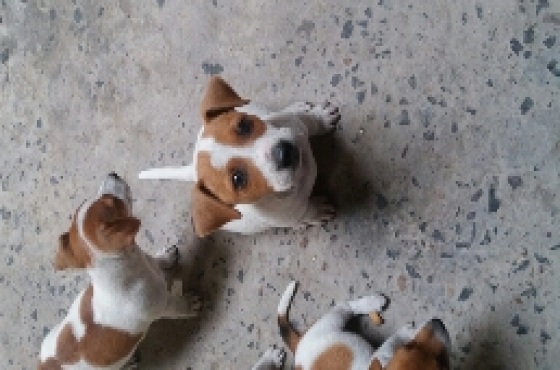 Jack Russell Puppies For Sale | Northern Suburbs | Dogs ...