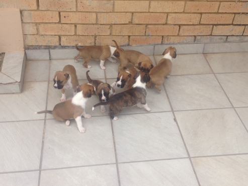 Boxer Puppies For Sale | Soweto | Dogs and Puppies ...