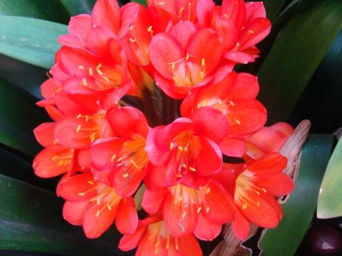 Plante bome blomme cycas revolutas pretoria west for Plante western