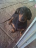 Daschund Sausage dogs free to good home
