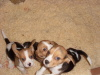 Adorable Beagle puppies, Male