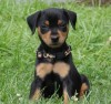 MINATURE PINSCHER - STUNNING BABY GIRL