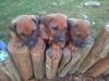 Ridgeback puppies for sale.