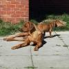 Rhodesian Ridgeback pups for s