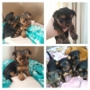 Yorkie puppies(Small breed)
