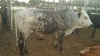 Three colour huge Nguni Bull