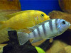 3 x Adult Kenyi Malawi Cichlid