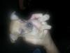Baby Miniature Doberman Pinche