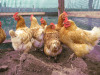 HEALTHY LAYING HENS