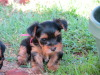 Pedigree Yorkie Female puppies